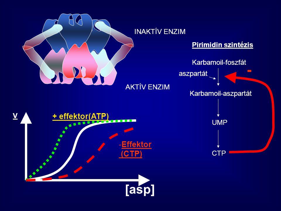 - [asp] + effektor(ATP) Effektor (CTP) INAKTÍV ENZIM